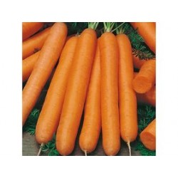 Semi di carota maestro