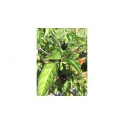 Dried Jamaica Hot Black