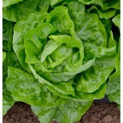 Verdunna Cabbage lettuce seeds