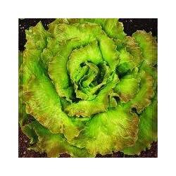 Maravilla de Verano Canasta lettuce