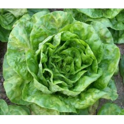 White sucrine cappuccino lettuce seeds