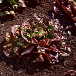 Red sucrine cappuccino lettuce seeds