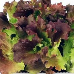 Mix Oak Leaf lettuce seeds