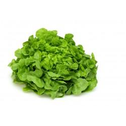 Green Oak Leaf lettuce seeds