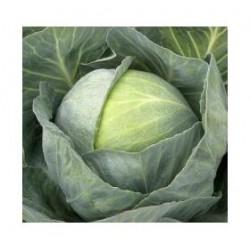 """""""Castello"""" round cabbage seeds"""