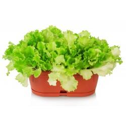 White Lollo lettuce seeds