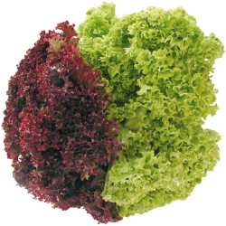 Mixed Lollo lettuce seeds