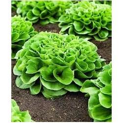 Frisygo white multi-leaf lettuce seeds