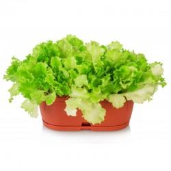 Romaserra Roman lettuce seeds