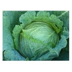 """""""Conquista"""" savoy cabbage seeds"""
