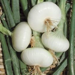 May White Flat Onion Seeds
