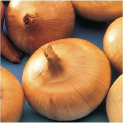 Flat Yellow Onion Seeds