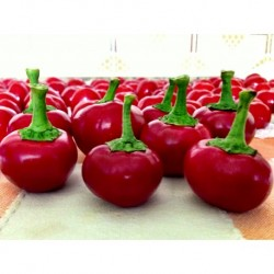 Rodeo hot pepper seeds