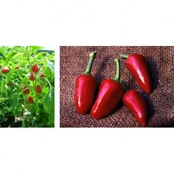 Dog's Nose chilli pepper seeds