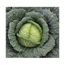 """""""Tourmaline"""" savoy cabbage seeds"""