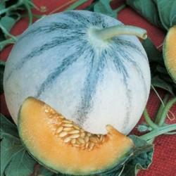 Semi melone liscio charentais