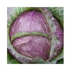 """""""Deaton"""" red savoy cabbage seeds"""