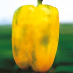 Gold Queen squared yellow pepper seeds