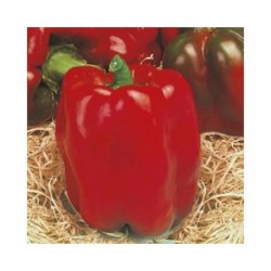 Linares red pepper seeds