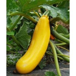 Parador yellow courgette seeds