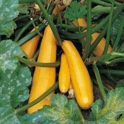Semi di zucchino giallo Parador