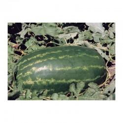 Essenza elongated watermelon seeds