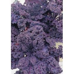 Redbor laciniated cabbage seeds