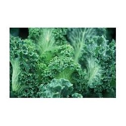 Torzella Salernitana cabbage seeds