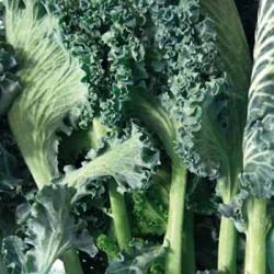 Neapolitan broadleaf cabbage seeds