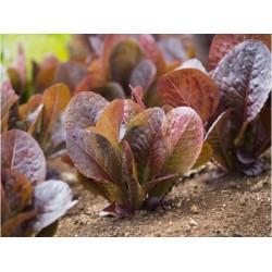Red romaine lettuce seeds