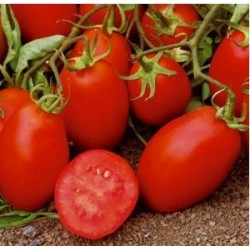 Roma elongated tomato seeds