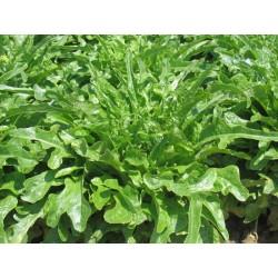 Green beard of friars lettuce seeds