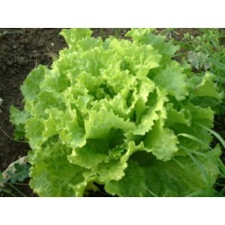 Green lollo lettuce seeds