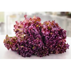 Seeds of red gentilina lettuce