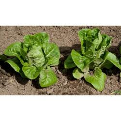 Lettuce seeds Spring mortadella