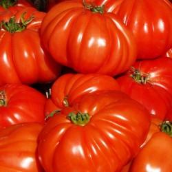 Cuoresisto beef tomato seeds
