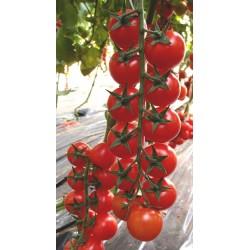 Ceruzzo cherry tomato seeds