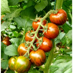 Zebra cherry tomato seeds