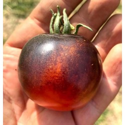 Indigo Rose black cherry tomato seeds