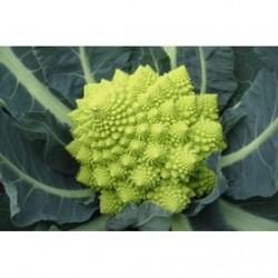 White Gold roman broccoli seeds