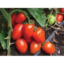 Smile half-elongated tomato seeds