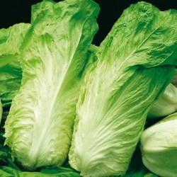 Early sugar loaf chicory seeds