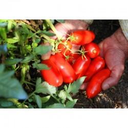 H1538 San Marzano tall tomato seeds