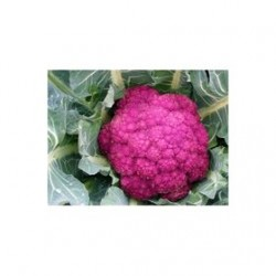 Calabrian red broccoli seeds