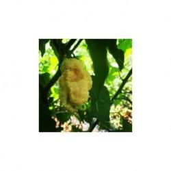 Dried Godzilla Reaper peach