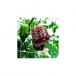 Dried Nagabrain Chocolate