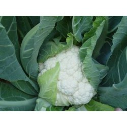 Prone white cauliflower seeds