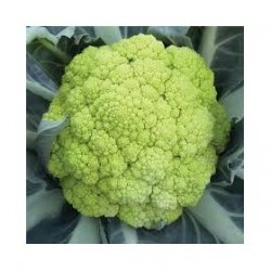 Panther green cauliflower