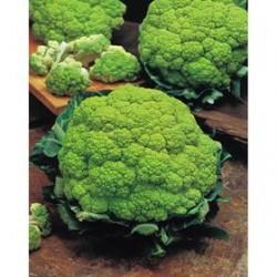 Alverda green cauliflower seeds
