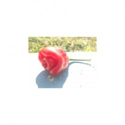 Dried Black rose